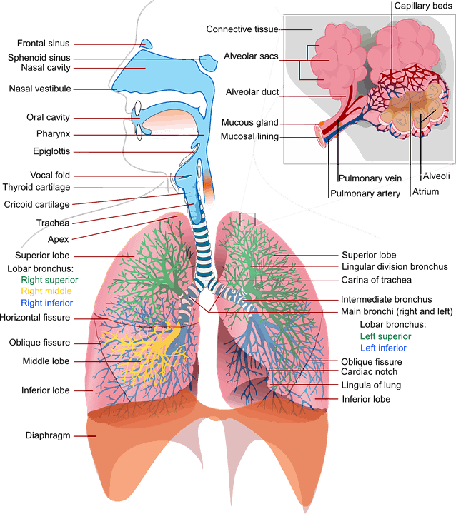 What Happens to Your Lungs When You Ride a Bicycle? 2